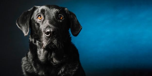 Czarny pies patrząc na kamery