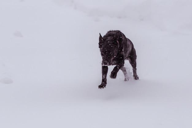 Czarny pies pokryty płatkami śniegu wściekle biega po zaśnieżonym terenie