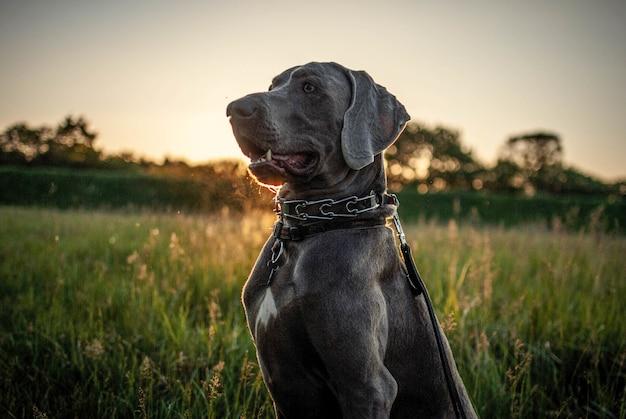 Czarny pies wyżeł weimarski w ogrodzie otoczonym zielenią