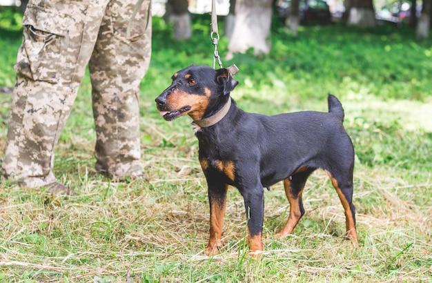 Czarny pies yagdterrier u stóp człowieka w parku