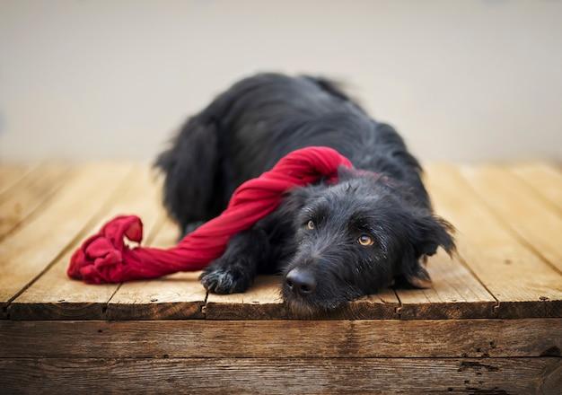 Czarny pies z szalikiem