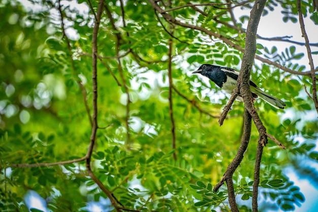 Czarny ptak z białą linią na skrzydle wisi na gałęzi drzewa, zielone tło.