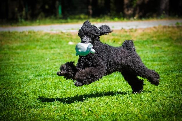 Czarny pudel zabawny pies bawi się zabawkami