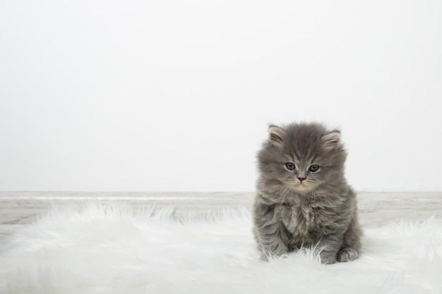 Czarny puszysty kotek siedzi na dywanie w przytulnym jasnym pokoju. kotek na tle białej ściany. miejsce na tekst