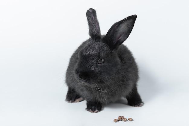 Czarny puszysty królik