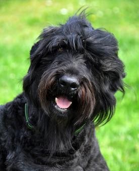 Czarny rosyjskiego terrier psa zakończenie up w ogródzie