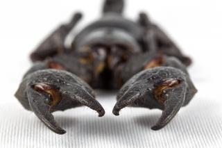 Czarny skorpion bliska pajęczak