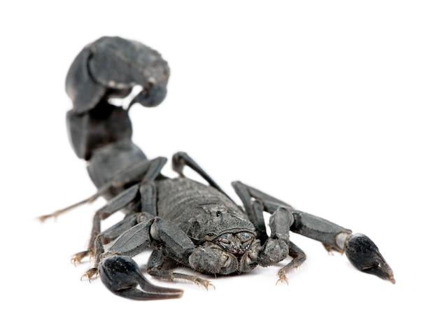 Czarny skorpion na białym tle. androctonus mauretanicus