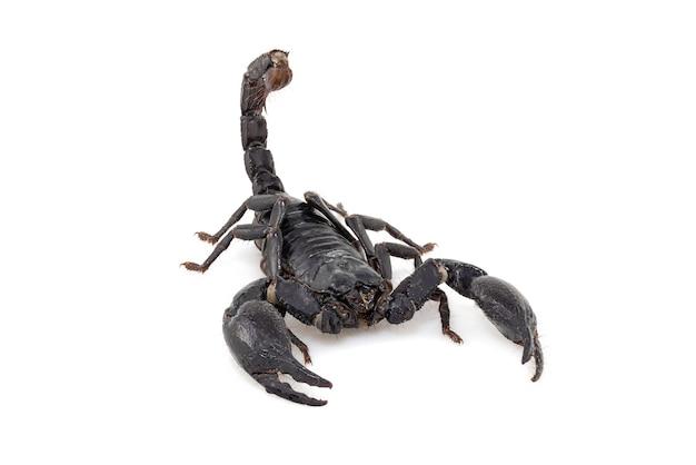 Czarny skorpion na białym tle