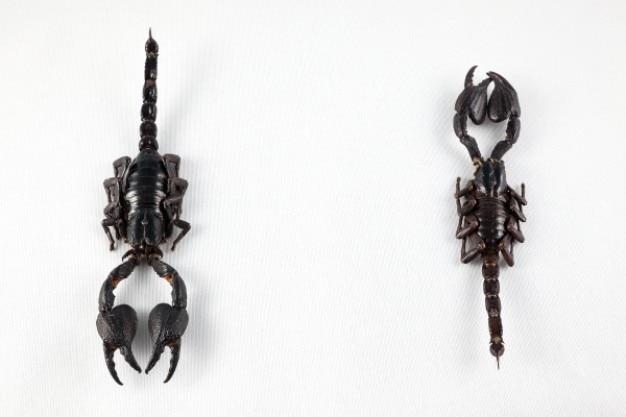 Czarny skorpion para