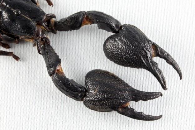 Czarny skorpion pazury