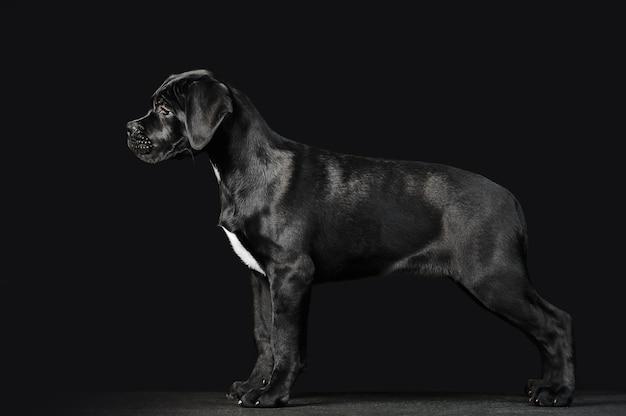 Czarny szczeniak cane corso na czarnym tle w pełnym wzroście. wygląd zewnętrzny szczeniaka w profilu