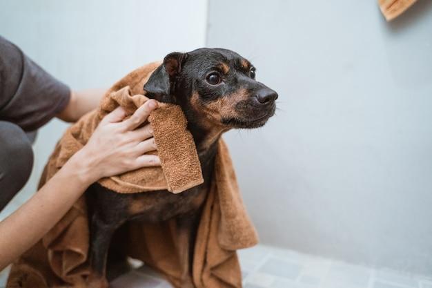 Czarny szczeniak z ręcznikiem
