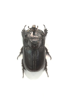 Czarny szerokim rondem chrząszcza