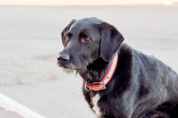 Czarny szkocki terier pies czeka na swojego pana