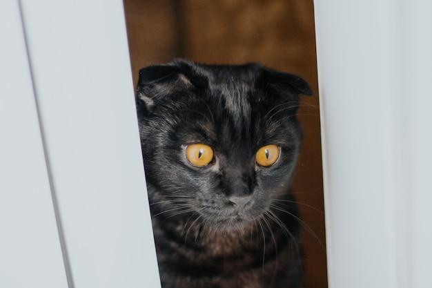 Czarny szkocki zwisłouchy kot o żółtych oczach zagląda przez szczelinę drzwi