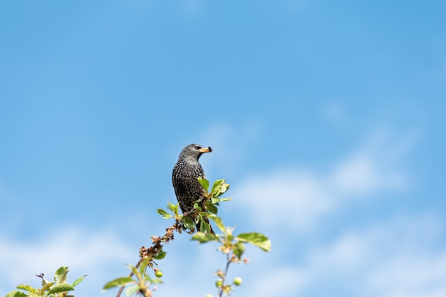 Czarny szpaczek siedzi na szczycie drzewnego słonecznego dnia z niebieskim niebem.