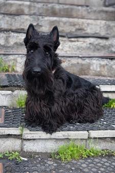 Czarny terier szkocki siedzi na schodach