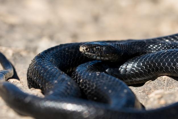 Czarny zachodni wąż biczowy wygrzewający się w słońcu na skalistym klifie na malcie