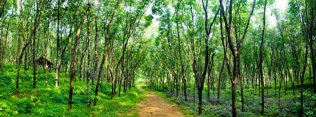 Czarujący leśny pas w plantacji drzewa kauczuku, kerela, indie.