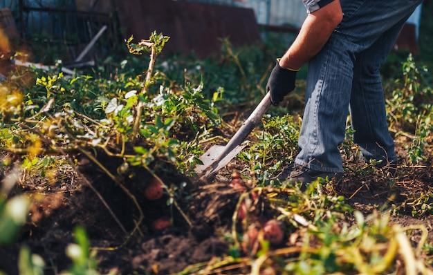 Czas zbiorów . rolnik zbierający świeże organiczne ziemniaki z gleby
