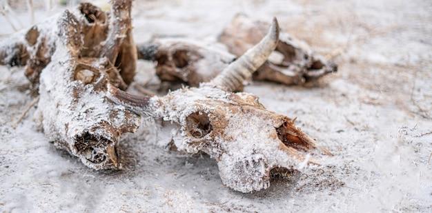 Czaszka i kości martwej krowy i byka