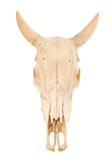 Czaszka krowy lub bos taurus na białym tle.