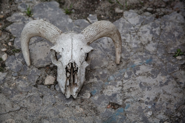 Czaszka owiec na pękniętym kamieniu. kości zwierzęce.