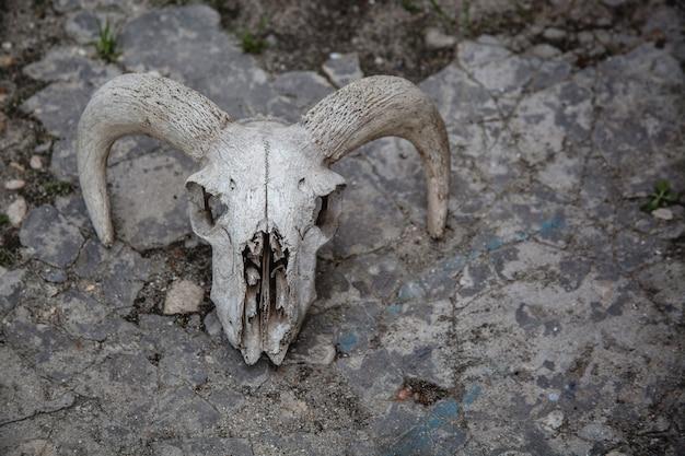 Czaszka owiec na tle pękniętego kamienia. kości zwierzęce.
