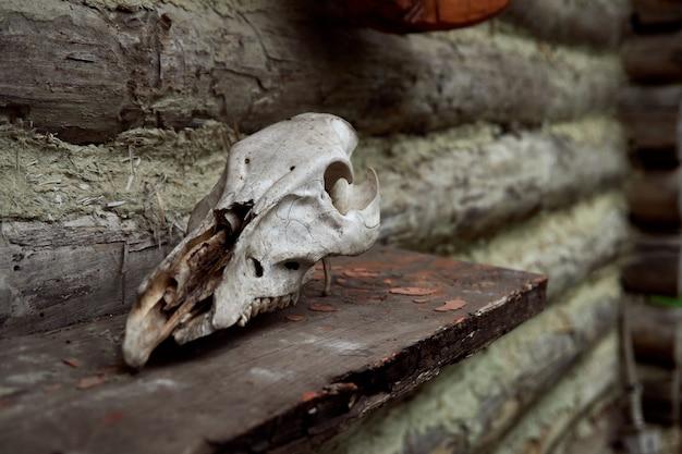 Czaszka roślinożercy na drewnianej szarej ścianie