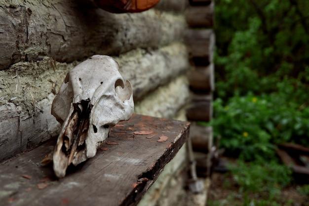 Czaszka roślinożernych na widoku z przodu drewnianej szarej ścianie