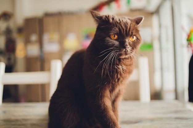 Czekoladowy kot szkocki z żółtymi oczami przy oknie.