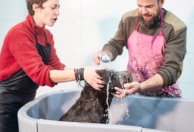 Czekoladowy labrador retriever w wannie kąpany przez kilku profesjonalnych pielęgnatorów psów