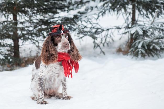 Czekoladowy spaniel z różnymi oczami w czapce i czerwonym szaliku.