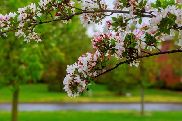 Czereśniowego drzewa okwitnięcie nad natury tłem