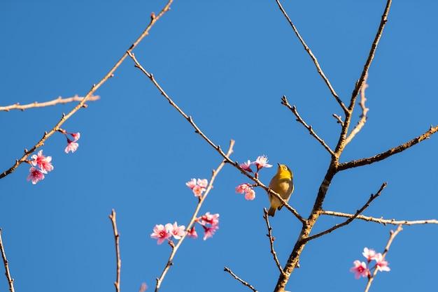 Czereśniowego okwitnięcia kwiaty i żółty ptak na drzewie z niebieskim niebem