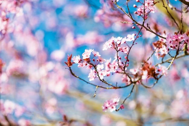 Czereśniowy okwitnięcie sakura w wiosna czasie nad niebieskim niebem