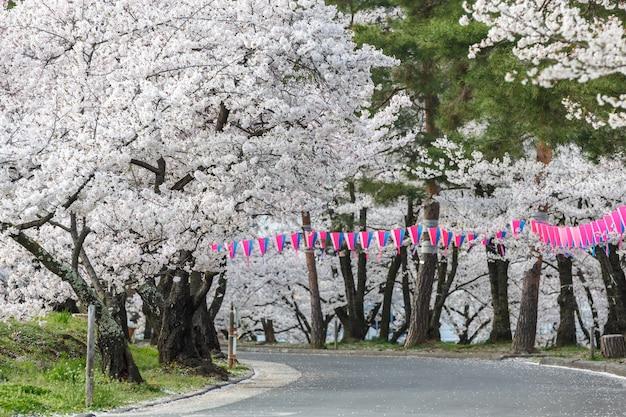 Czereśniowy okwitnięcie w joyama parku podczas hanami festiwalu, matsumoto