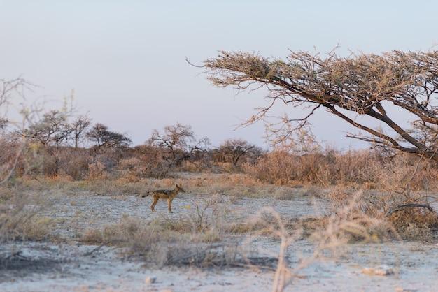 Czerń podparty szakale w krzaku przy zmierzchem. park narodowy etosha, główny cel podróży w namibii, afryka