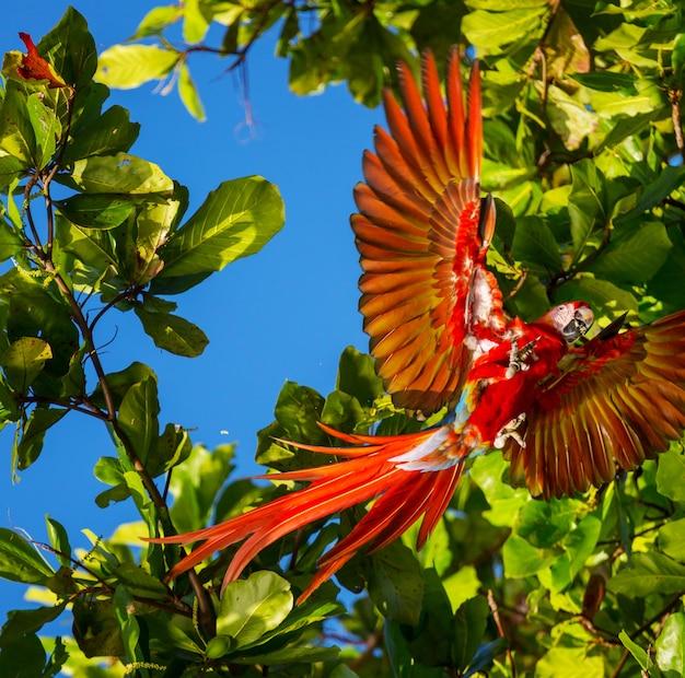 Czerwona ara ara na wolności, kostaryka, ameryka środkowa