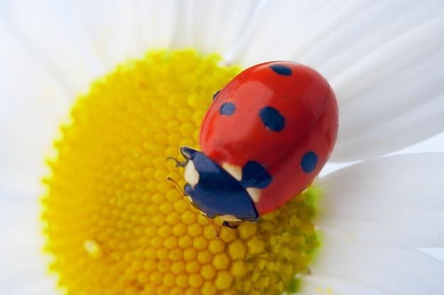 Czerwona biedronka na kwiatku rumianku