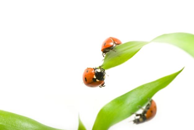 Czerwona biedronka na zielonej trawie na białym tle