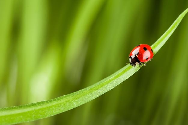 Czerwona biedronka na zielonej trawie.