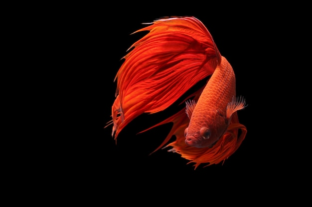 Czerwona bojownik lub betta splendens fantazyjne ryby na czarnym tle