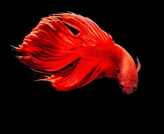 Czerwona bojownik syjamski lub betta splendens fantazyjne ryby na czarno