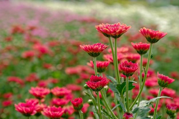 Czerwona chryzantema w ogródzie