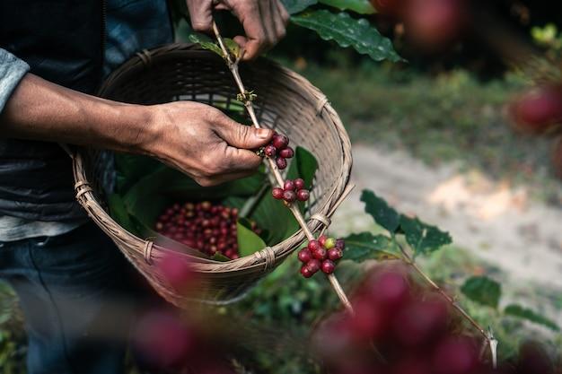 Czerwona dojrzała kawa arabica pod okapem drzew w lesie, ręcznie zbieranie kawy rolnictwa
