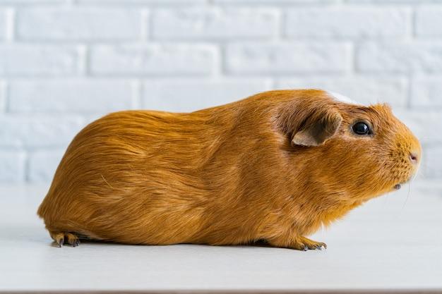 Czerwona domowa świnka morska cavia porcellus, znana również jako cavy lub domowe cavy