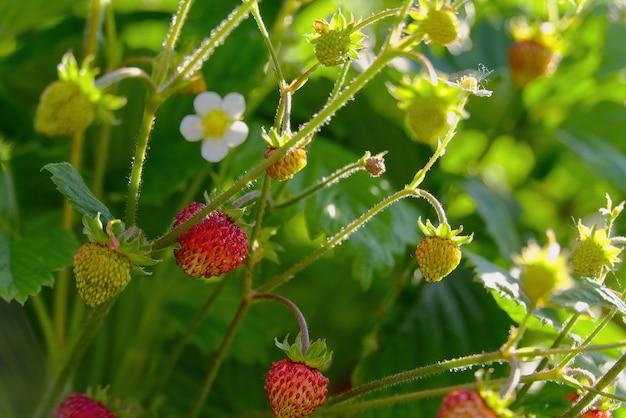 Czerwona fragaria lub dzikie truskawki, rosnące organiczne dzikie fragaria. dojrzałe jagody w ogrodzie. koncepcja naturalnej zdrowej żywności ekologicznej.
