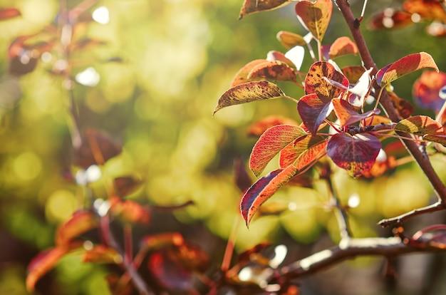 Czerwona gruszka liście jesienią na gałęzi w słońcu